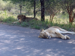 two_lions_having_a_break_after_an_unsuccessful_hunt_in_kruger_national_park